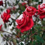Как правильно укрывать розы на зиму?