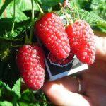 Саженцы садовой малины. Об уходе и применении