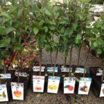 Выбор и посадка саженцев плодовых деревьев