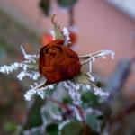 Правильная подкормка и зимовка роз: Чем и когда?