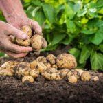 Виды подкормки картофеля
