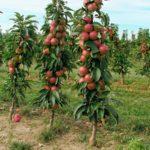 Удобрения для яблони. Сроки их внесения, состав