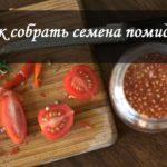 Как собрать семена томатов?