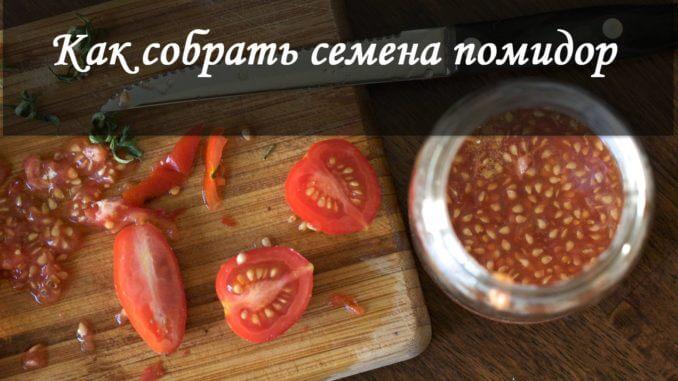 как собрать семена помидор