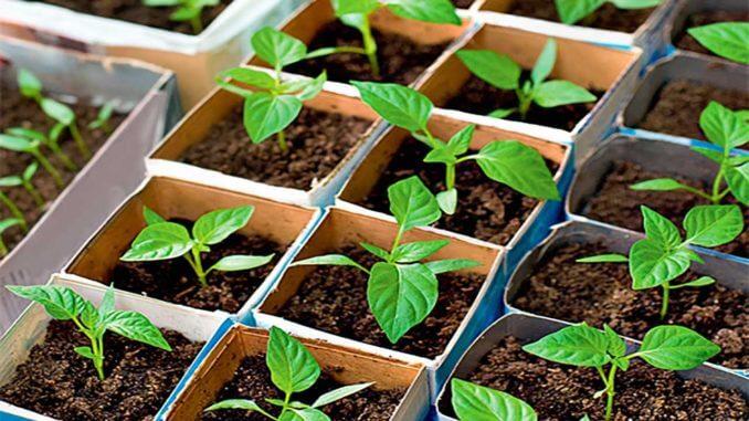 через сколько дней всходят семена перца болгарского