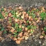 Удобрение для клубники: осенний период