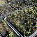 Саженцы клематиса: особенности посадки и ухода