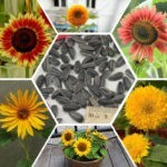 Выбор семян подсолнечника. Критерии и правила