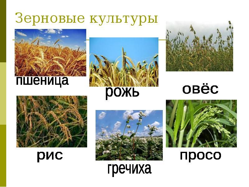 картинки зерновых растений с названиями никогда перестают нас