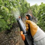 Как проводить обработку винограда медным купоросом от грибковых заболеваний?