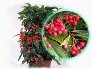 ардизия городчатая выращивание из семян
