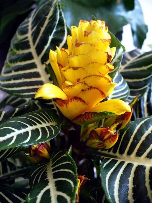 цветение-афеландры
