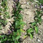 Мята. Как вырастить на даче из семян