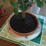 Горшок для бонсая или как адаптировать кухонную утварь