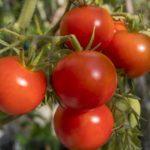 Помидоры для Сибири: лучшие сорта для теплиц и открытого грунта
