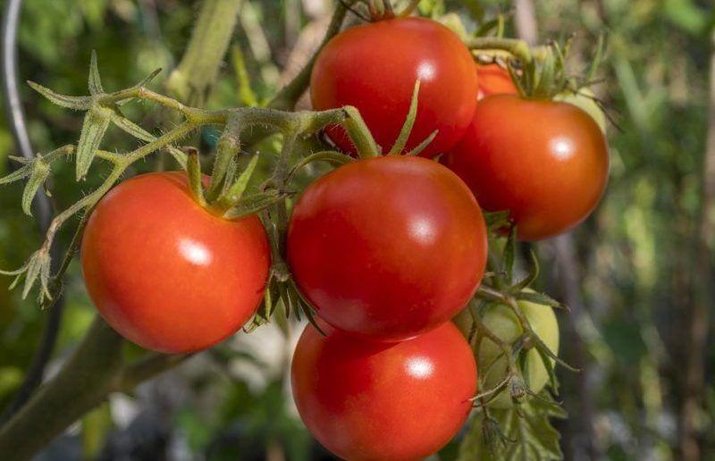 сибирская коллекция помидор для теплиц
