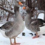 Породы гусей для домашнего разведения — обзор и советы по выбору