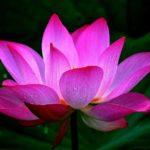 Цветок лотос: описание и виды, применение растения, почему оно занесено в Красную книгу