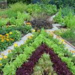 Примеры смешанной посадки овощей на грядке