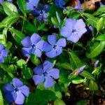 Барвинок (фото цветов) – советы, секреты, рекомендации