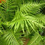 Папоротник кочедыжник: фото растения и его сорта для садового выращивания, описание культуры