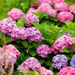 Гортензия крупнолистная: сорта с фото и названиями, посадка и уход в открытом грунте, выращивание в саду и в домашних условиях
