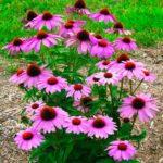 Эхинацея пурпурная: посадка и уход за многолетним цветком, размножение, выращивание из семян, популярные сорта с фото