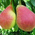 Лучшие виды и сорта груш с названиями и описанием: летние, осенние, ранние, сладкие и сочные