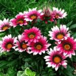Уход за гацанией на клумбе в открытом грунте, выращивание и размножение, фото цветка газания