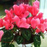 Как ухаживать за цикламеном после покупки, во время и после цветения: нюансы ухода за нежным цветком