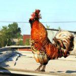 Породы кур – основные породы курей с фото и описанием: мясные и несушки