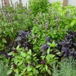 Сад пряных трав: выбор пряно-ароматических растений