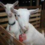 Породы коз – названия, самые популярные направления и правила выращивания
