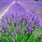 Растение лаванда: фото и описание видов, посадка, уход и выращивание лаванды, обрезка растения
