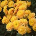 Хризантемы в открытом грунте: фото, видео, виды и сорта, посадка, уход