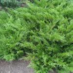 Хвойное дерево можжевельник: фото, названия разновидностей, описание видов и сортов, уход и размножение можжевельника