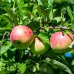 Самые популярные сорта яблонь с фотографиями и описанием