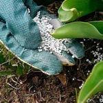 Удобрение селитра: применение на огороде и в саду