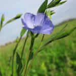 Лен: фото, описание растения, условия выращивания цветка