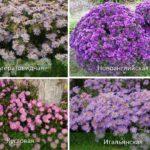Выращивание цветка астры в саду: посадка и уход за растениями, когда цветет
